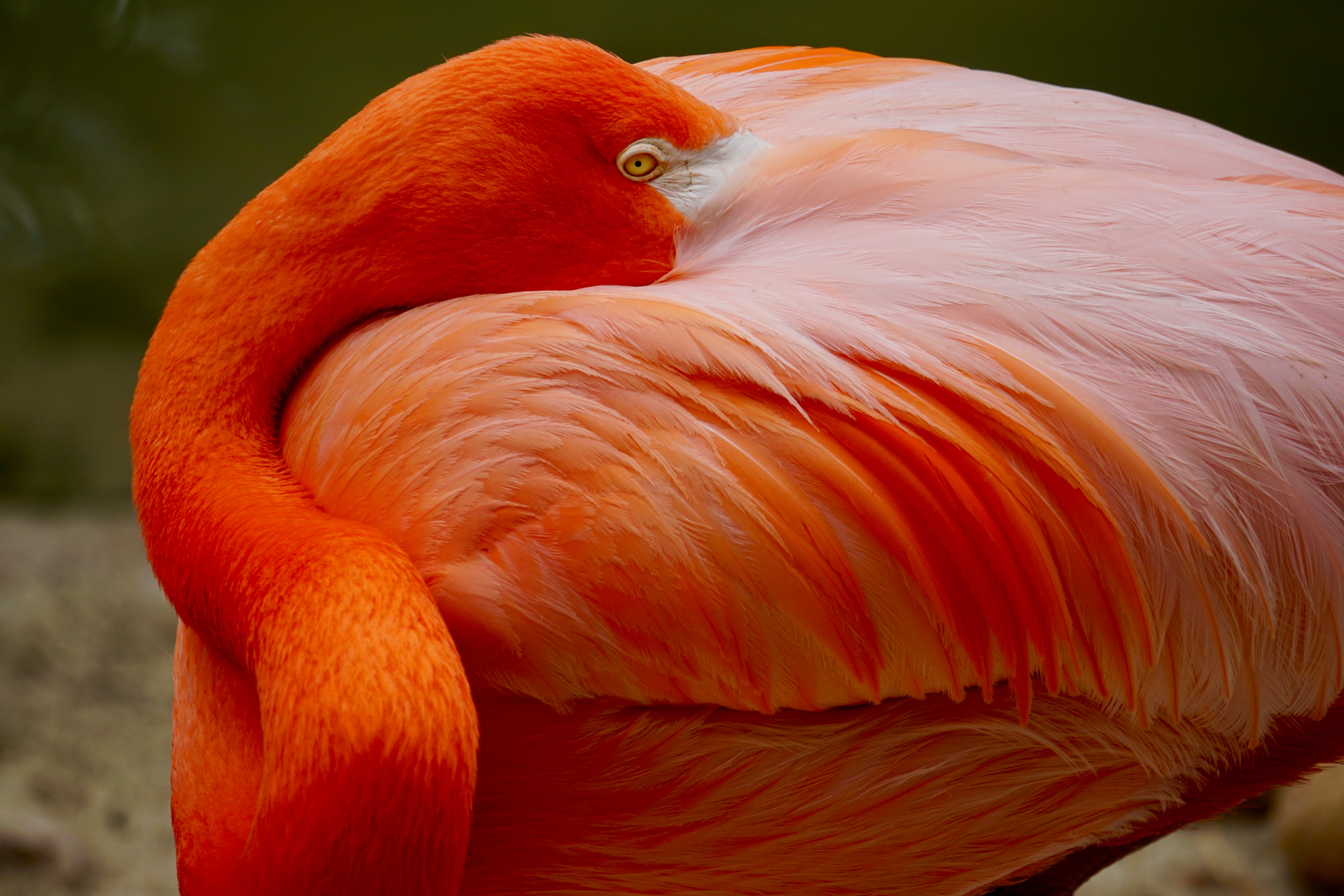 Closeup Photo of Orange Flamingo