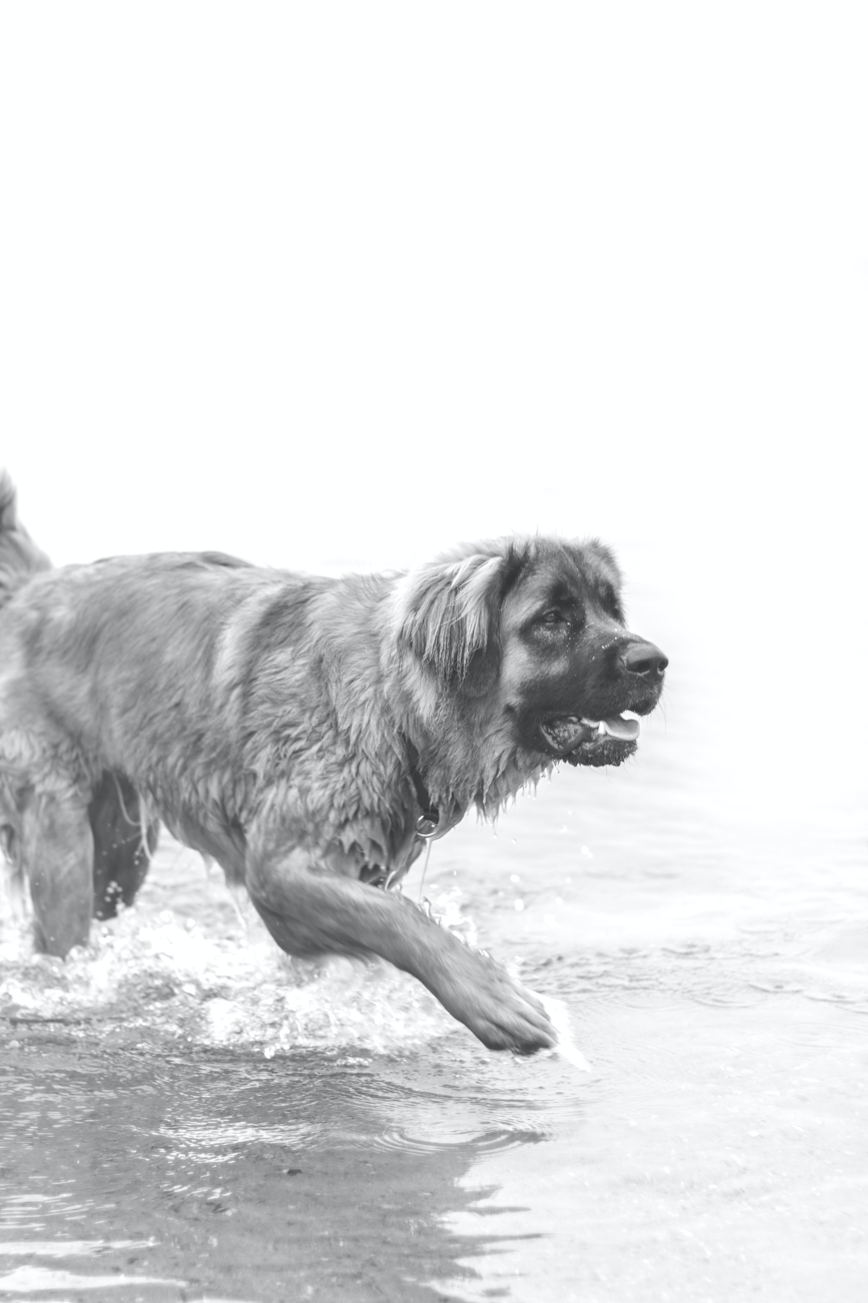 Free stock photo of black-and-white, dog, water