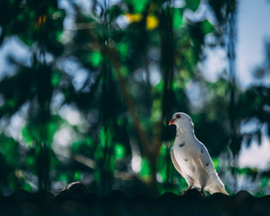 White Mourning Dove