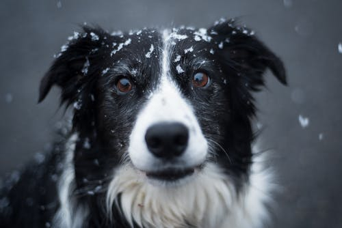 Selective Focus Photography of Adult Black and White Border Collie