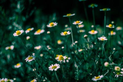 Immagine gratuita di boccioli di fiori, bocciolo, camomilla, campo