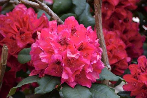 Immagine gratuita di arbuste, botanique, couleur, fleur