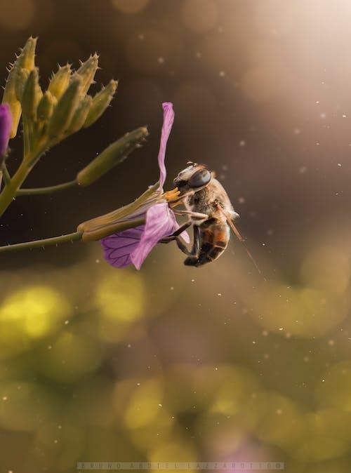 Безкоштовне стокове фото на тему «Бджола, квітка, макрофотографія»