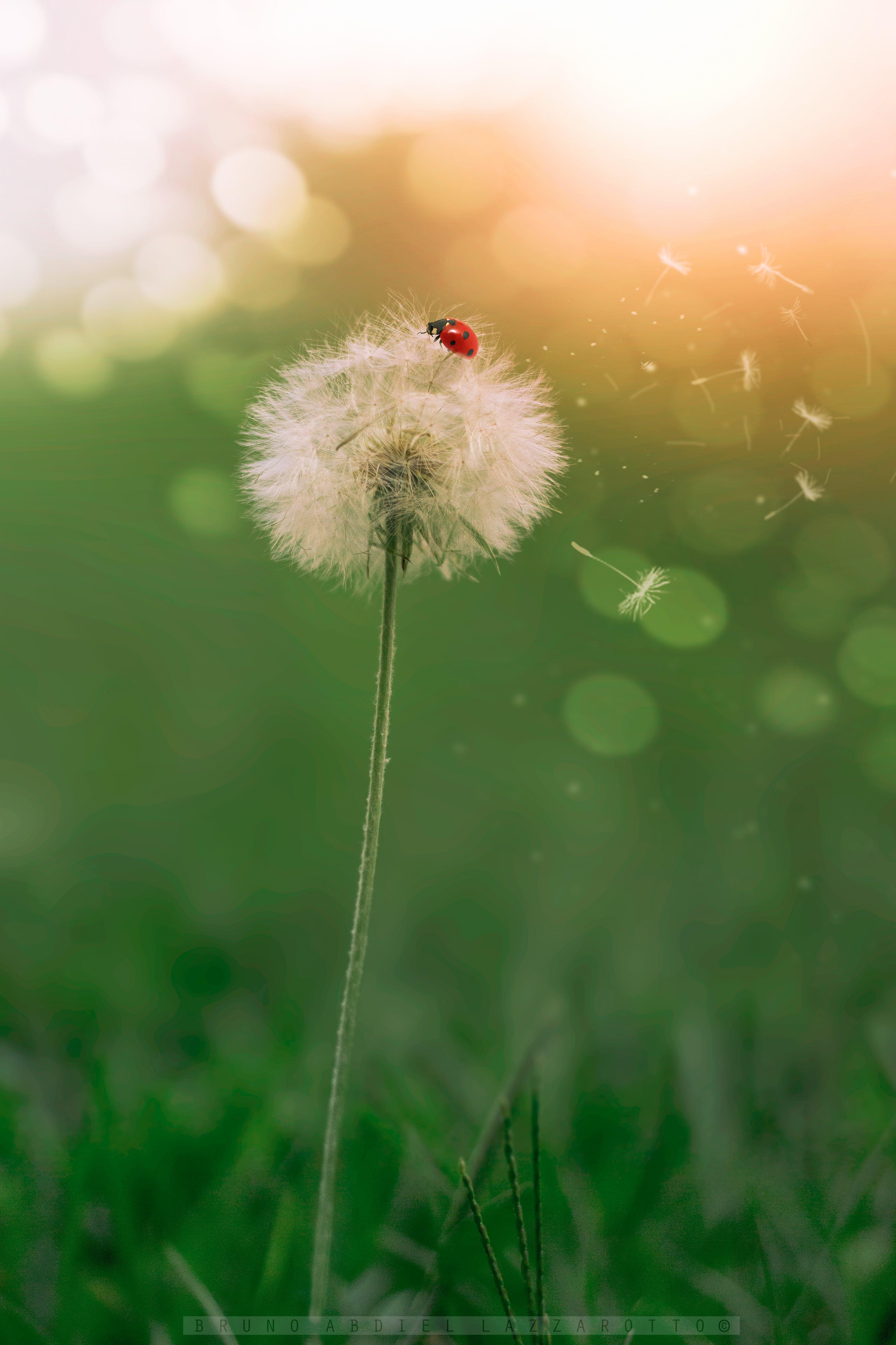 Kostenloses Stock Foto zu grüne natur, insekt, löwenzahn, makro