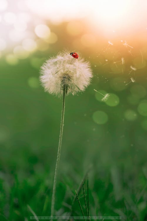 Безкоштовне стокове фото на тему «зеленої природи, комаха, кульбаба, макрофотографія»
