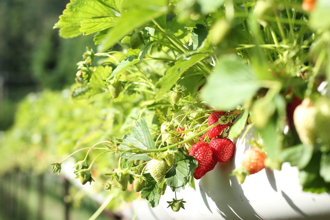 Strawberries in Macro Shot