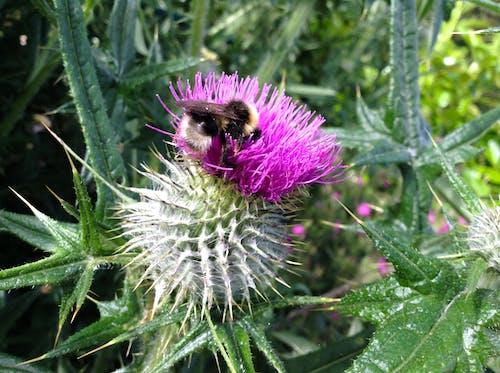 Безкоштовне стокове фото на тему «Бджола, будяк»