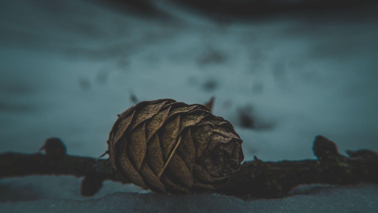 松ぼっくり, 森林の無料の写真素材