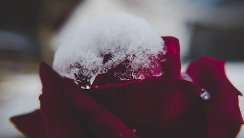 Kostenloses Stock Foto zu rote rose, schnee, schöne blumen