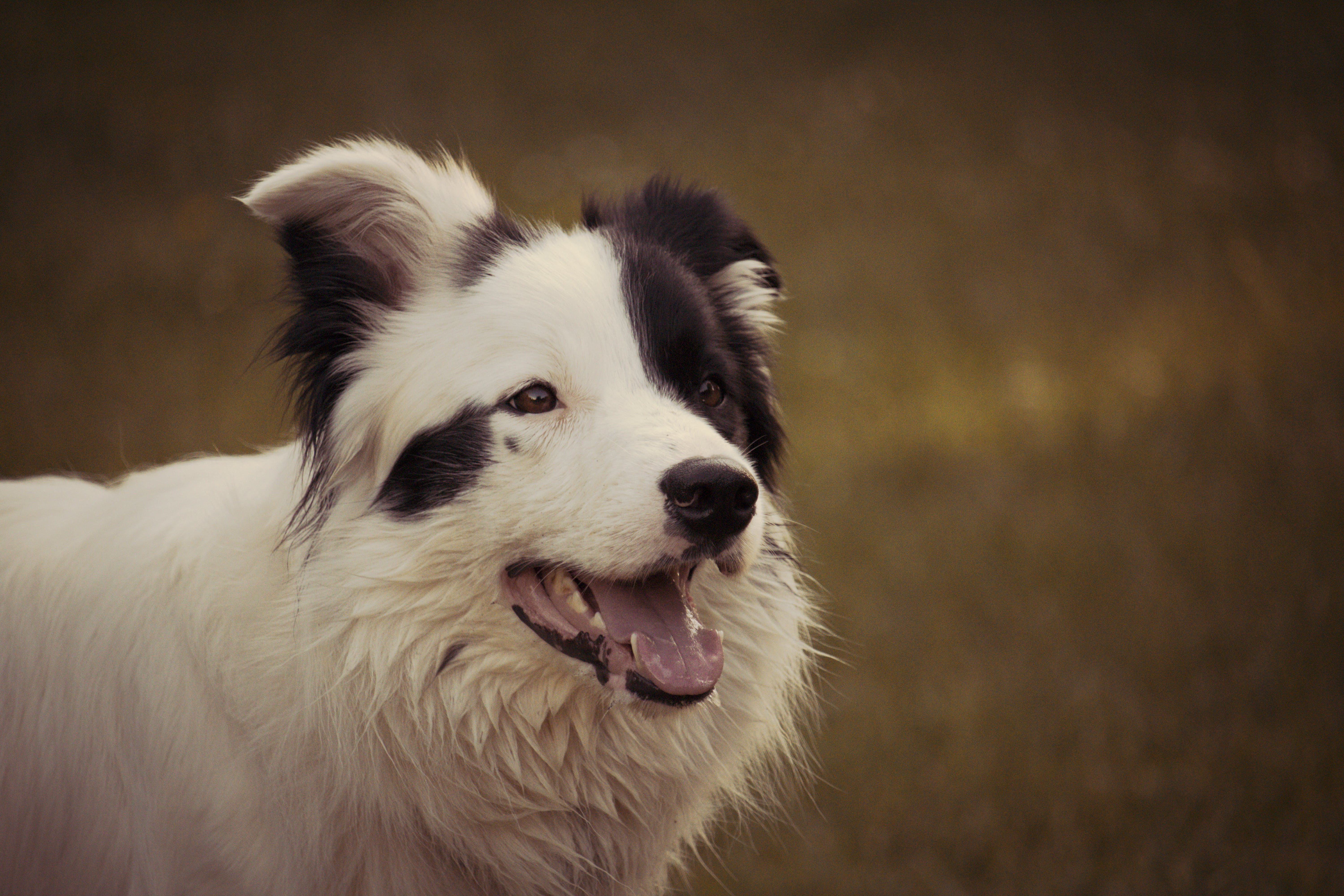 Adult Black and White Border Collie