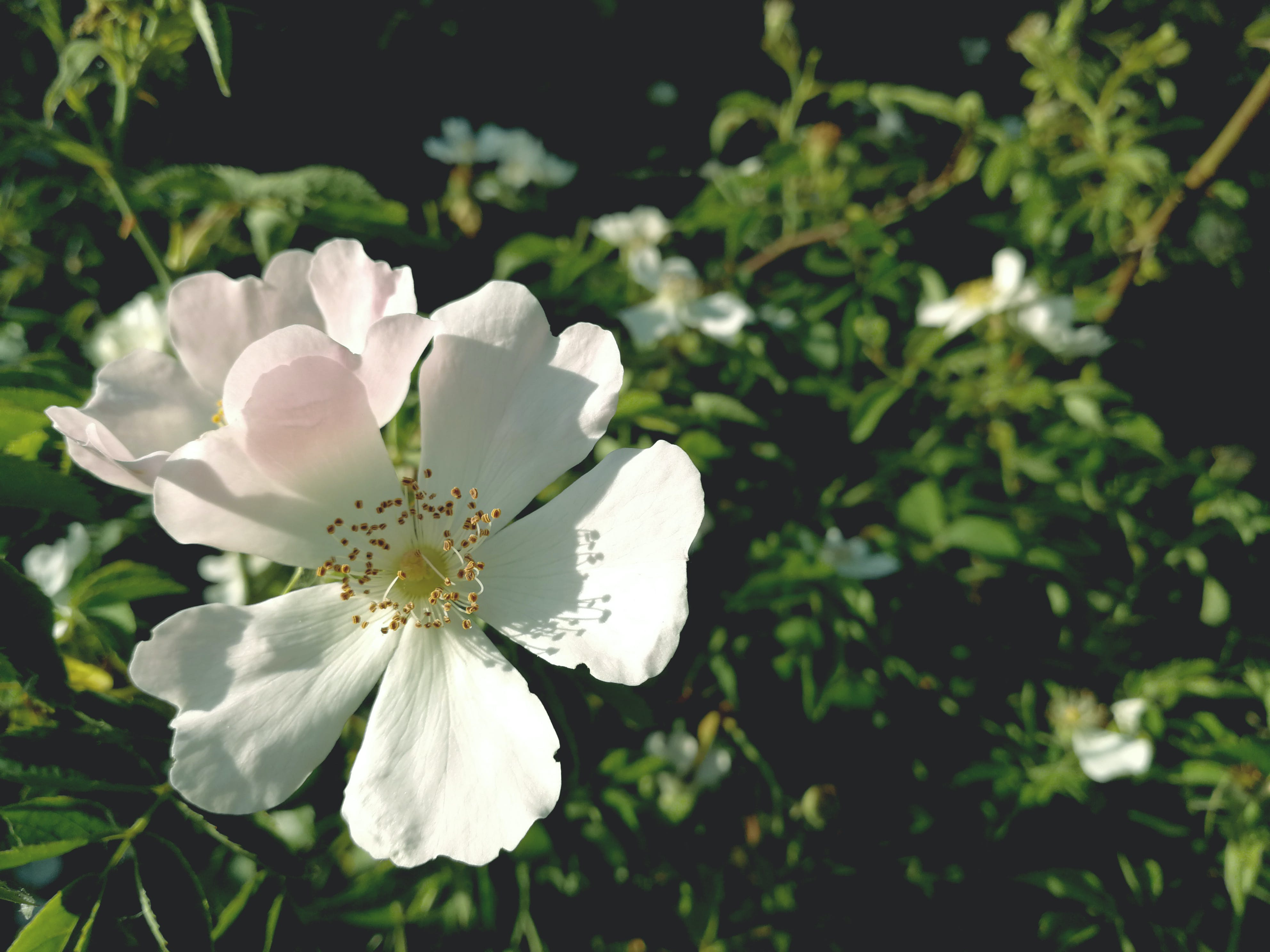 White Single-petaled Roses Closeup Photography at Daytime