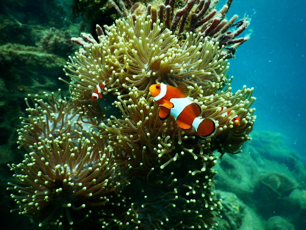 Red and White Clownfish Under Water