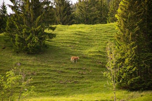 Ilmainen kuvapankkikuva tunnisteilla lehmä, puut, ruoho, vuoret