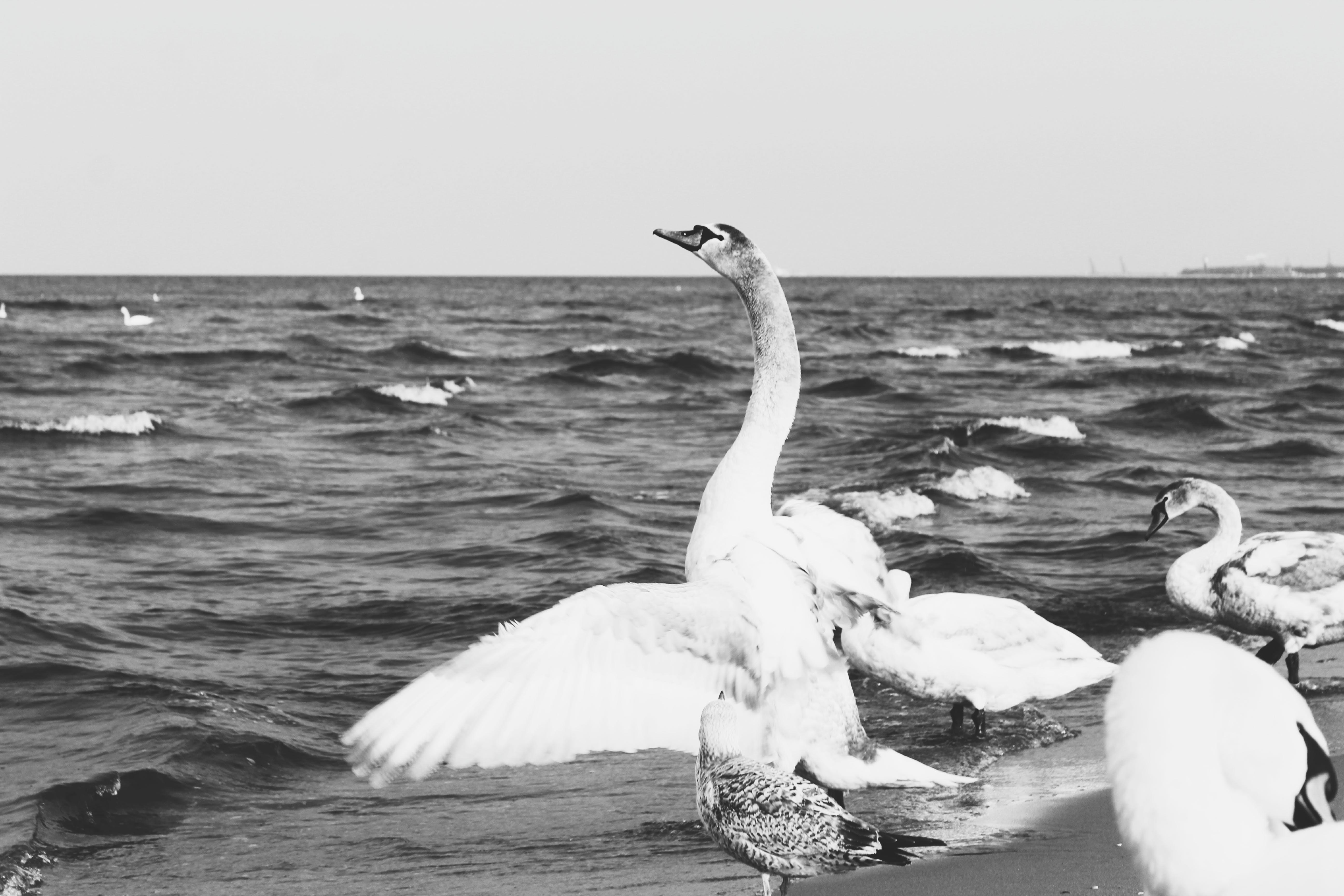 Free stock photo of swans