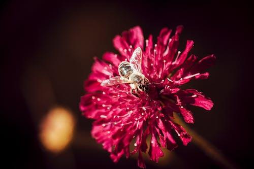 Foto d'estoc gratuïta de abella, flor, flora, florir