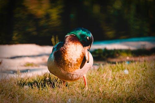 Základová fotografie zdarma na téma kachna divoká, tráva, zvíře