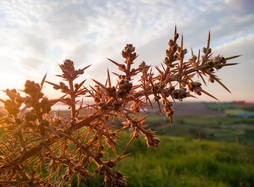Foto d'estoc gratuïta de Espiga, planta, punxa