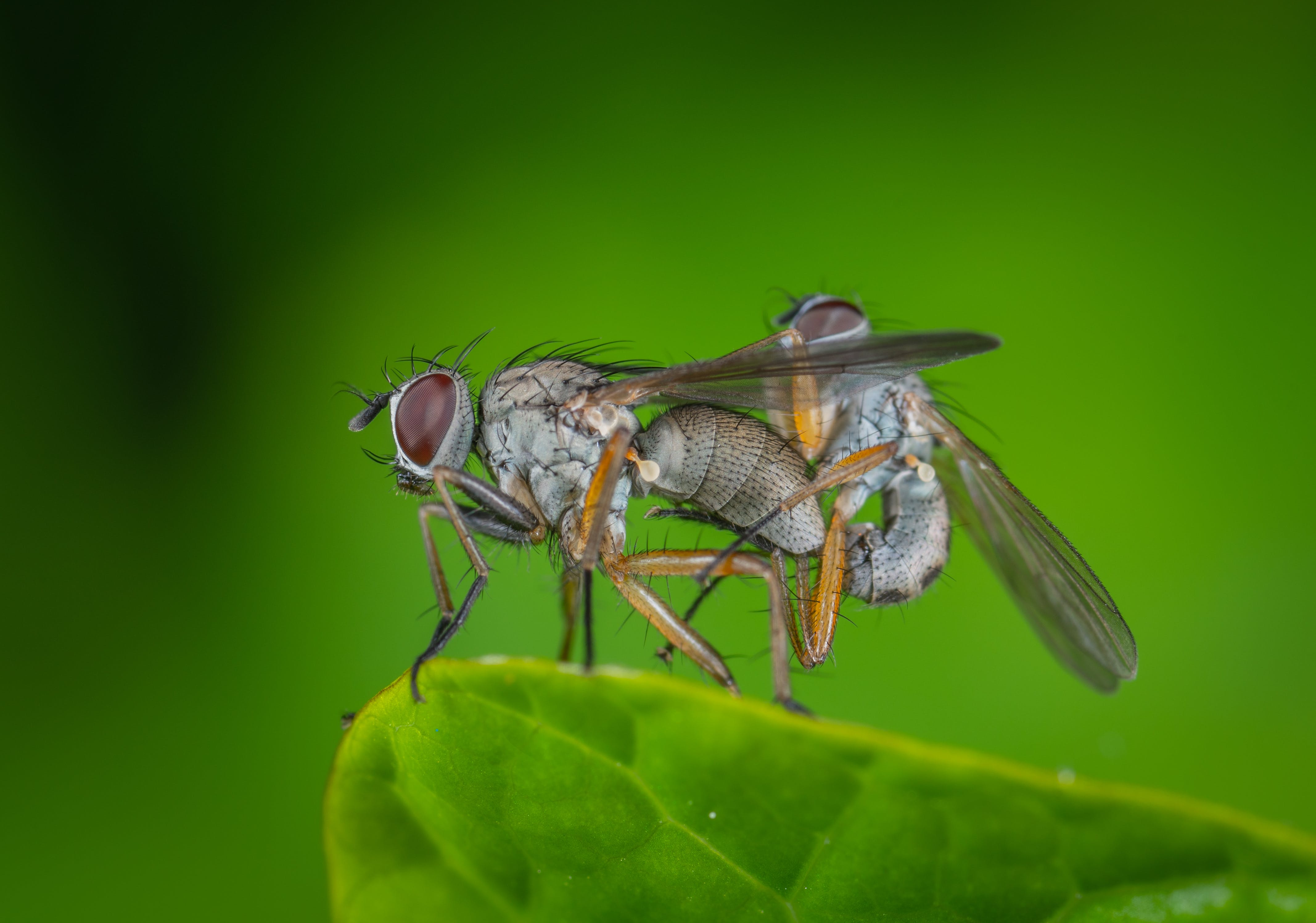 Free stock photo of insect, macro, fly, sex