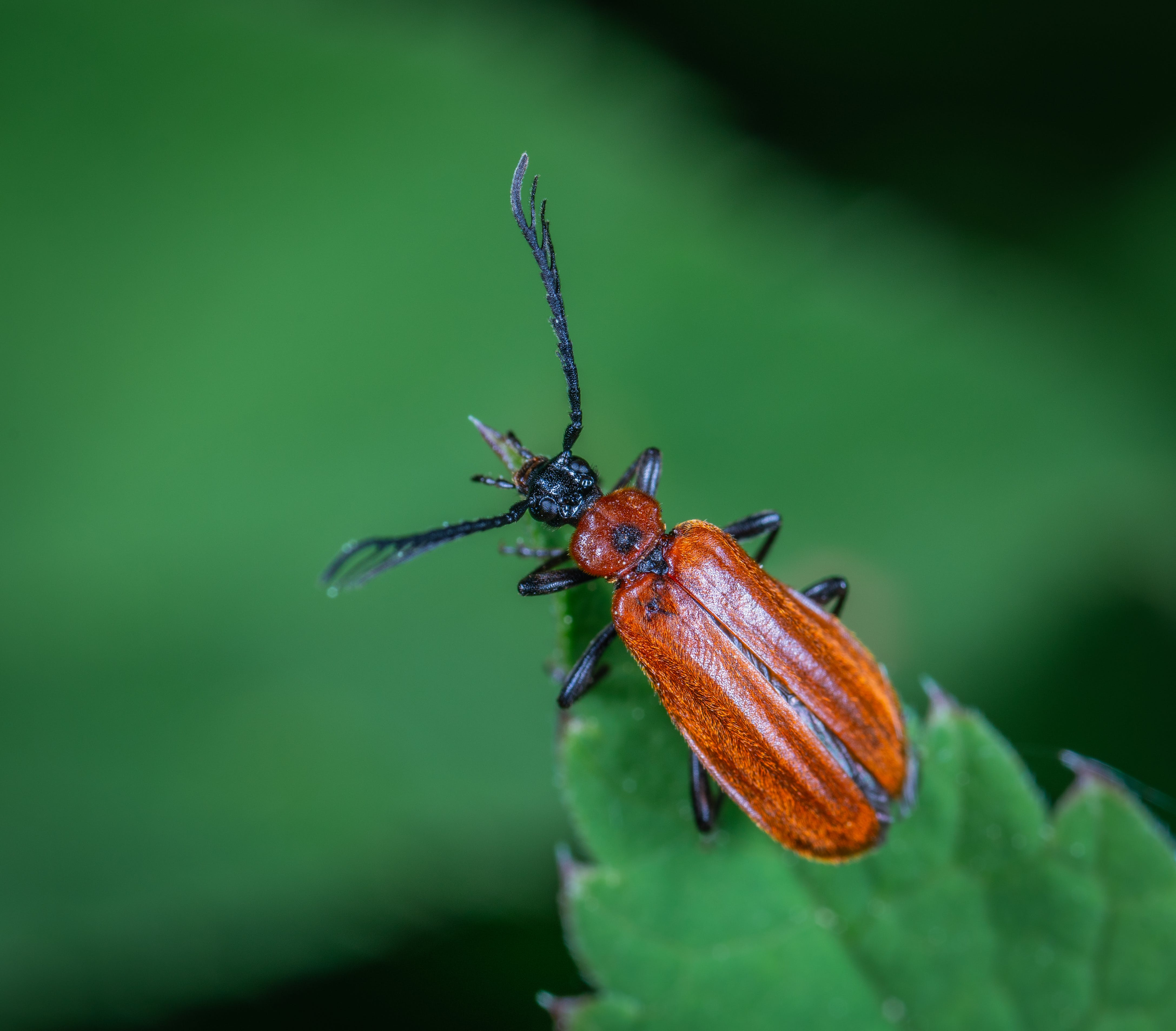 horned Beetle Perched On Green Leaf