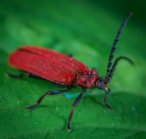 Red Weevil On Green Leaf