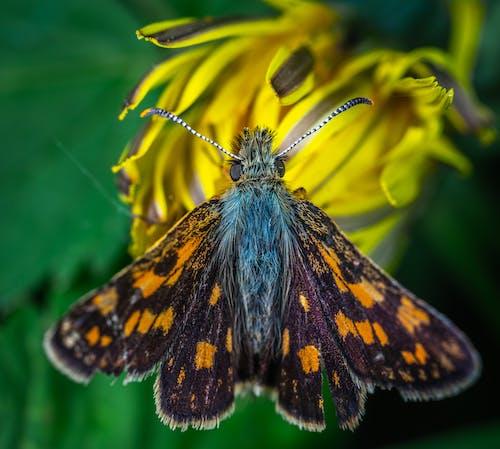 Kostnadsfri bild av blomma, fjäril, insekt, lepidoptera
