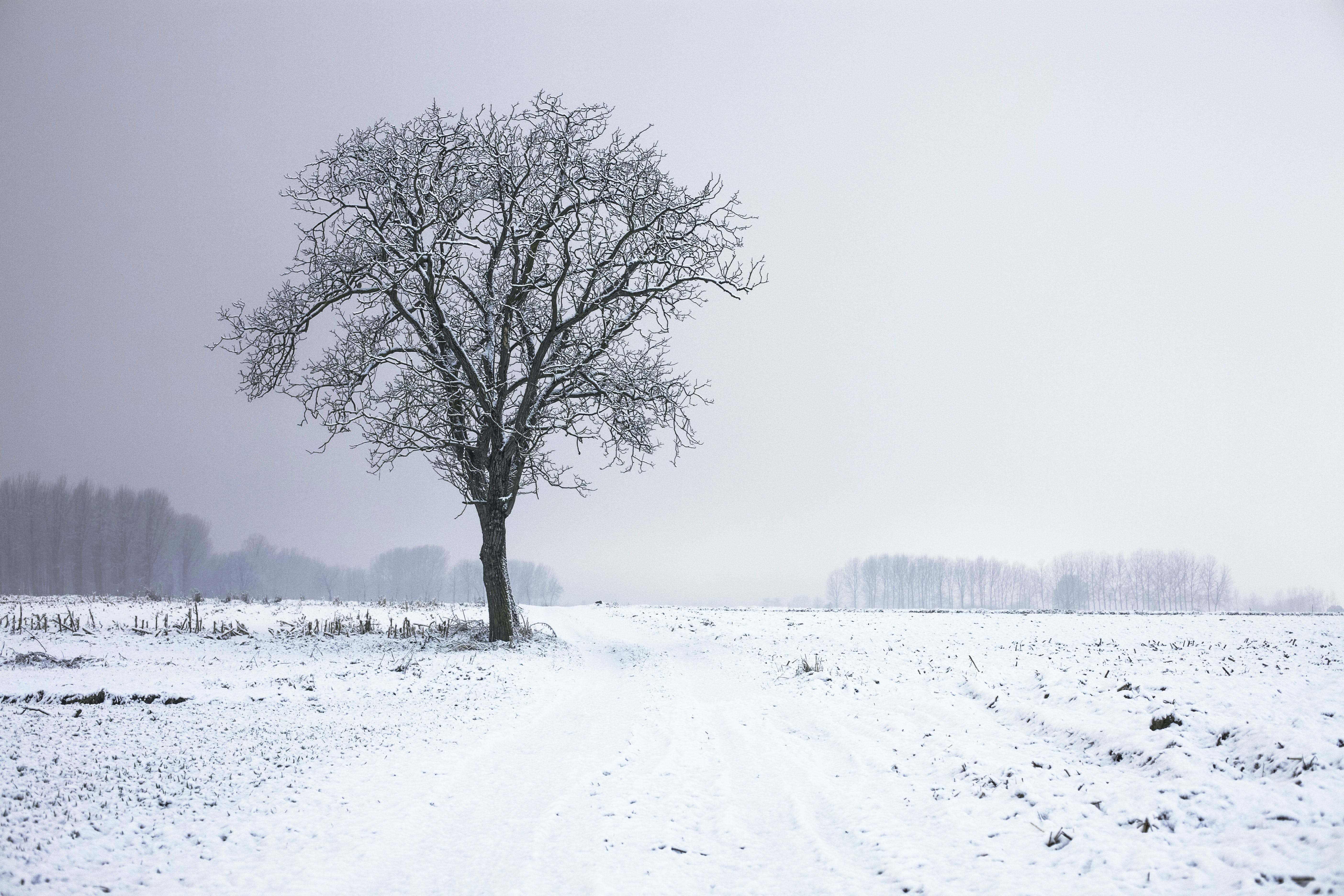 This picture features a tree in a beautiful winter setting. The single snow covered tree stands in the middle of a wide and open snow covered field. In the background behind some fog a little forest and trees are visible.