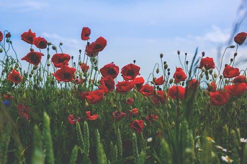 Immagine gratuita di bocciolo, campo, erba
