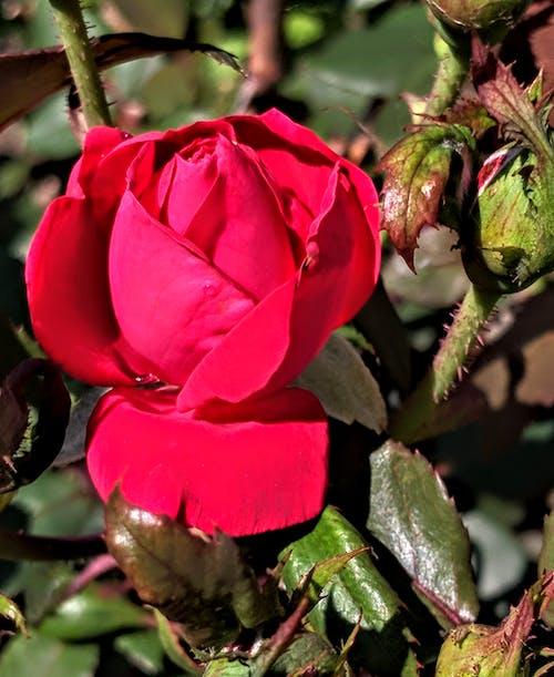 Kostnadsfri bild av rude närbild röd