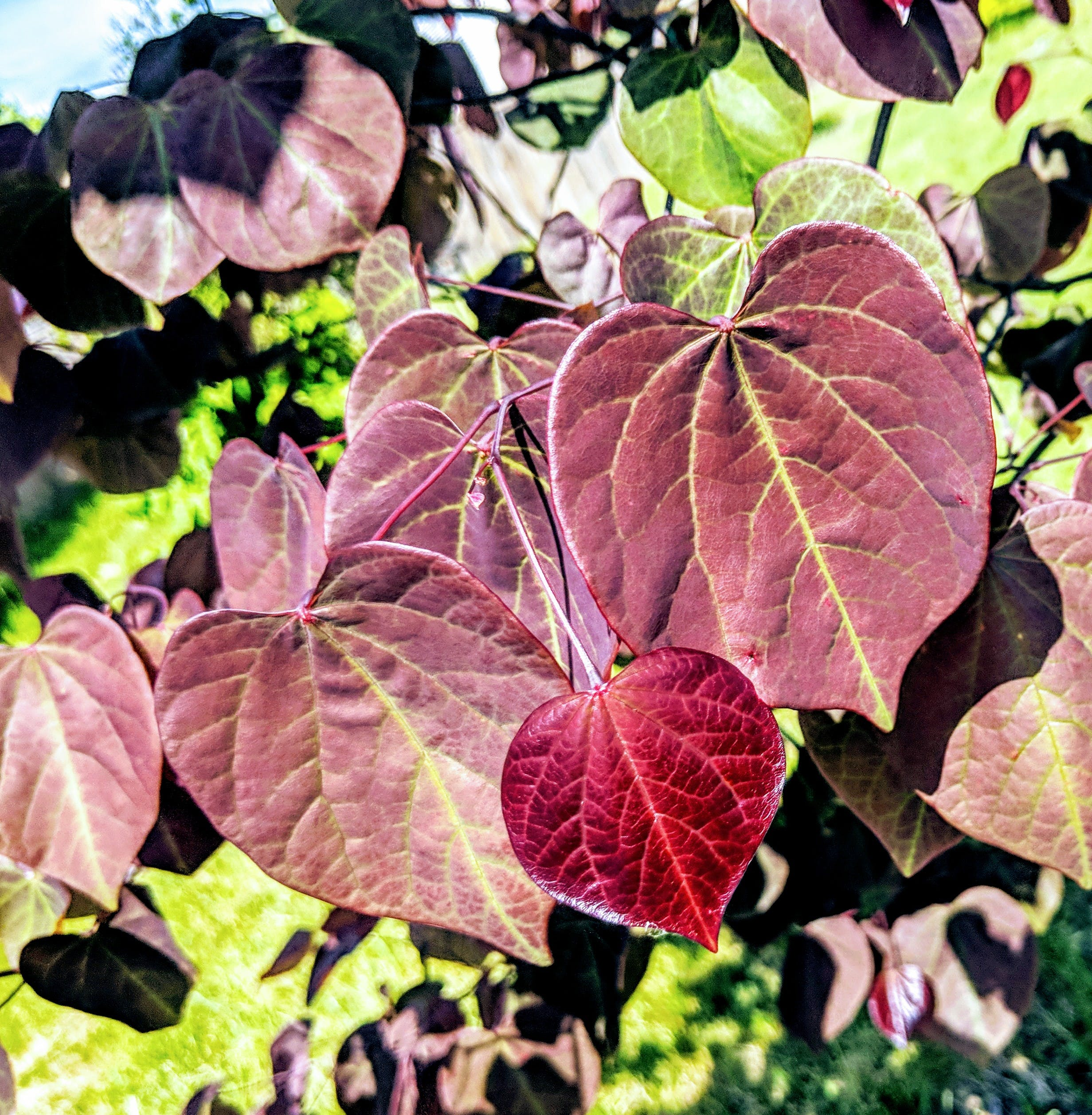 Free stock photo of heart, leaves, red bud, shaped