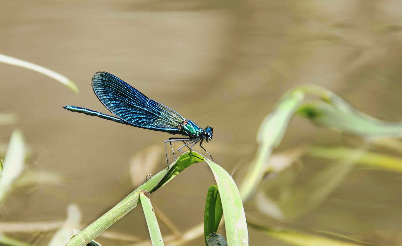 Foto stok gratis capung, capung biru