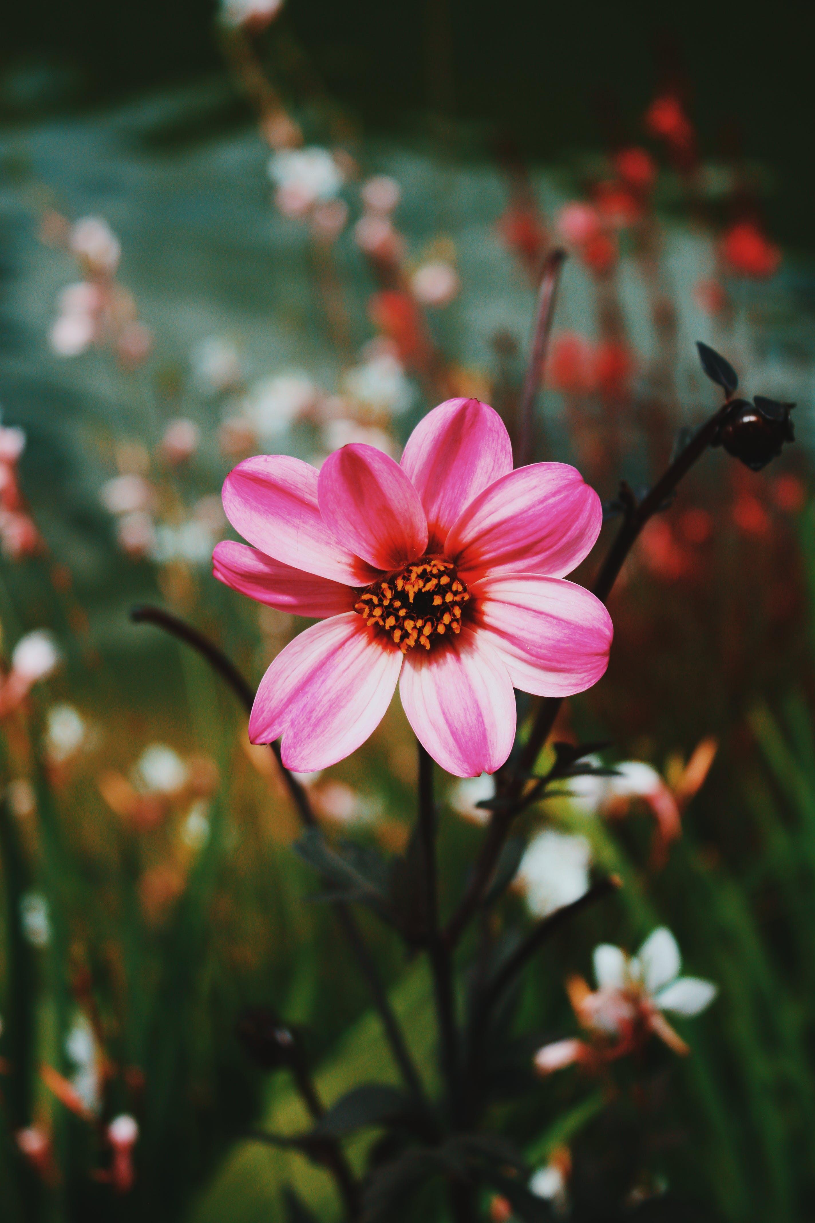 Pink Dahlia Flowers in Bloom