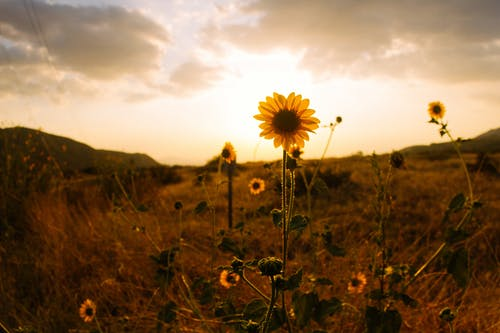 Sunflower on Hill Sepia Photography