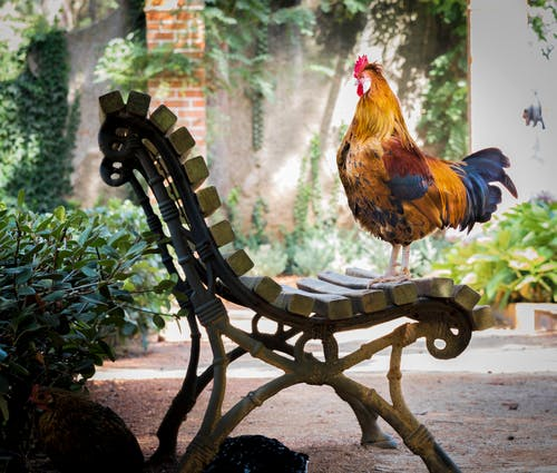Close-up Photography of Orange Rooster on Brown Wooden Bench