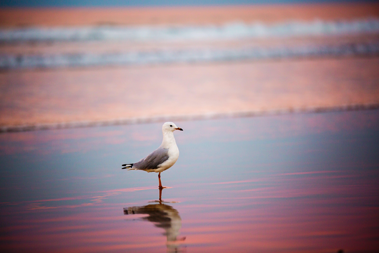 Free stock photo of sunset, bird, beach, water