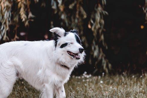 Adult White and Black Australian Shepherd