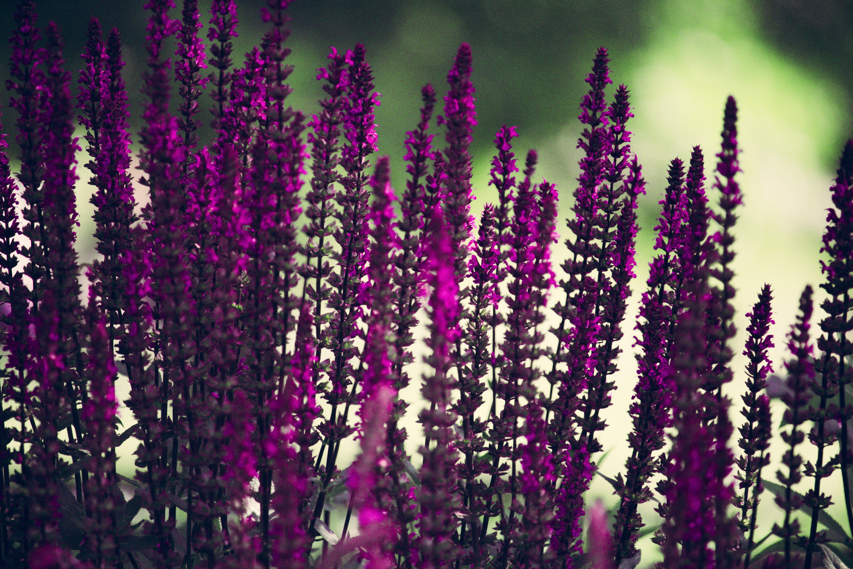 Purple Lavender Flowers Selective-focus Photography