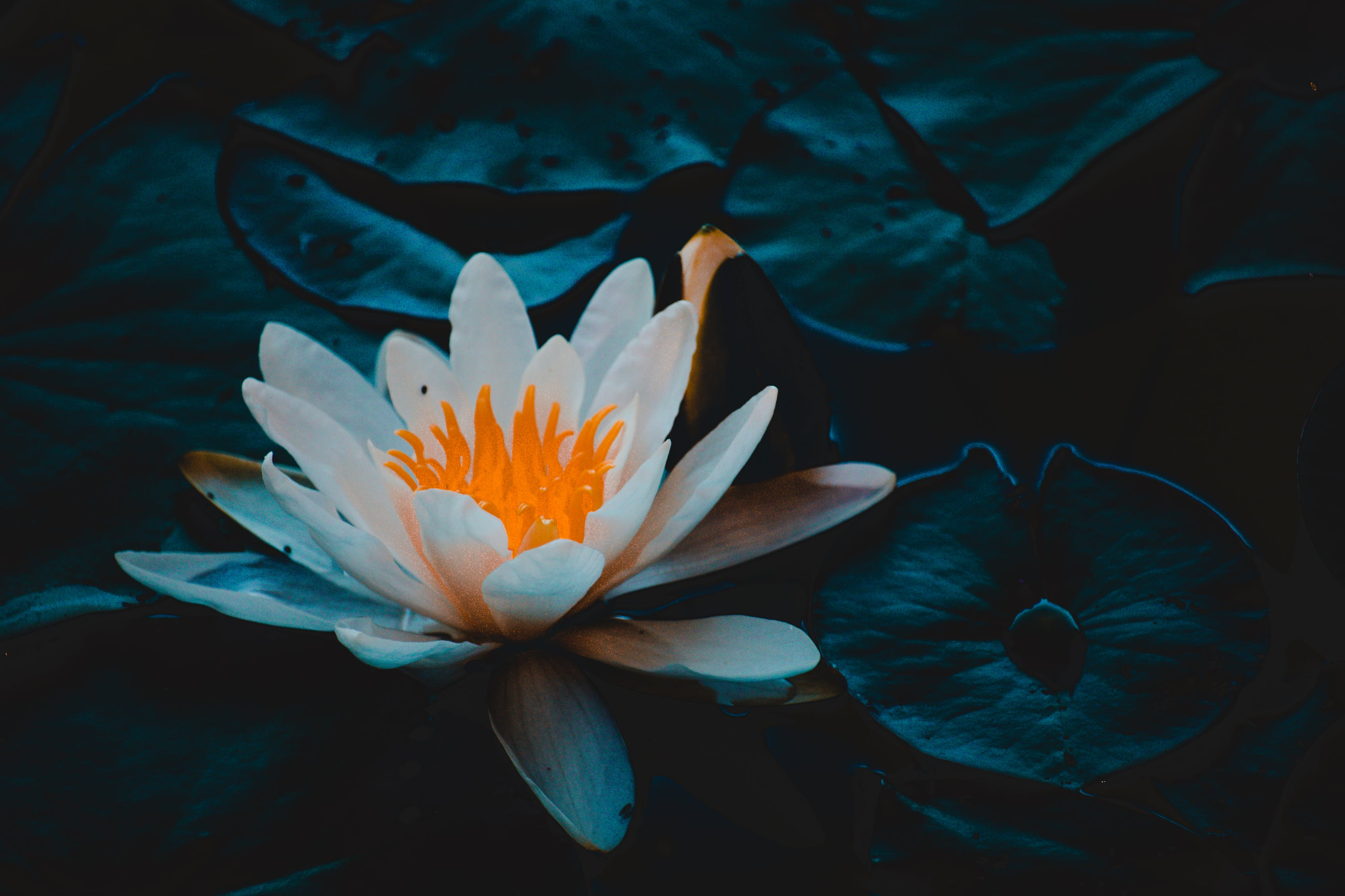 Close-up Photography of Water Lily