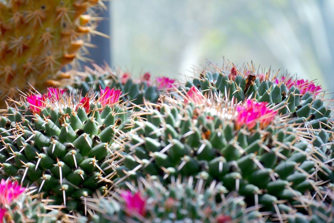 berduri, bunga, bunga kaktus