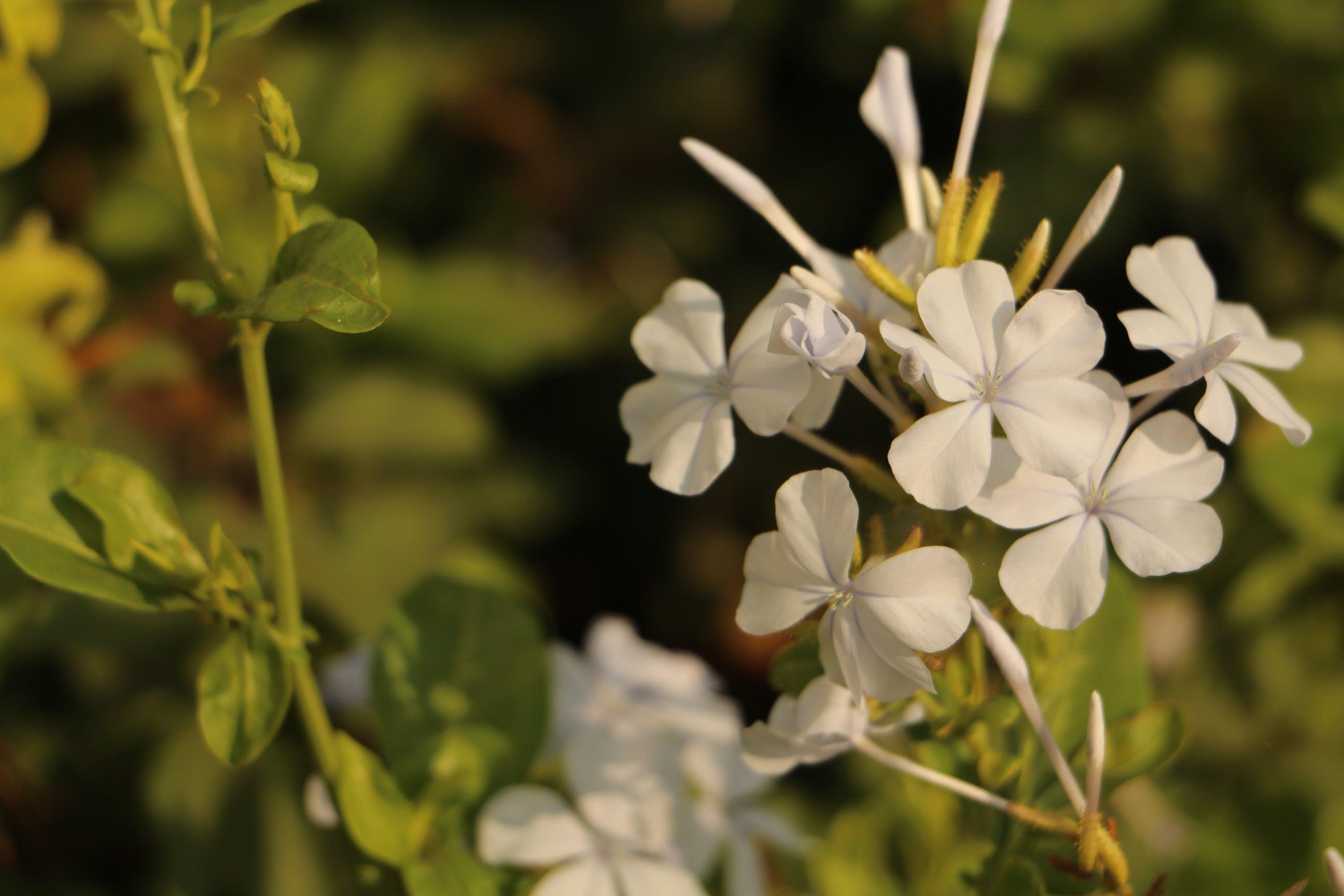Free stock photo of flowers, white, white flowers, beautiful flowers