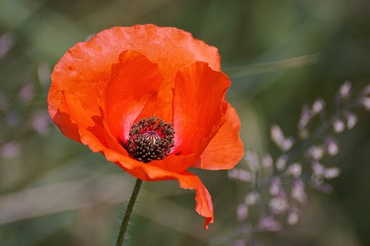 1000 interesting poppy flowers photos pexels free stock photos selective focus photography of orange petaled flower mightylinksfo