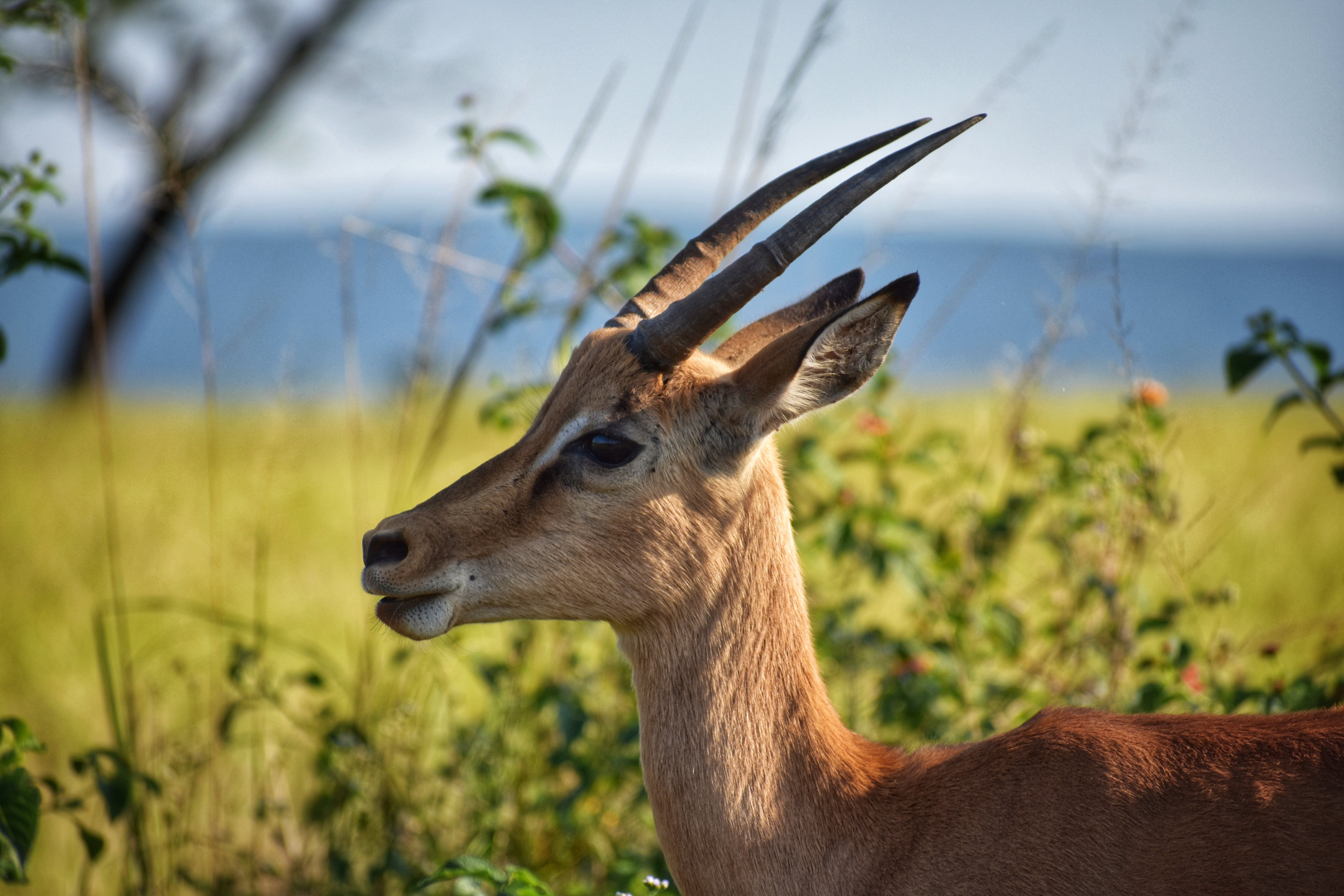 Selective Focus Photography of Brown Antelope
