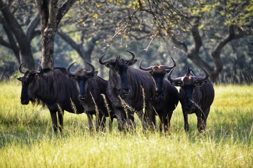 Photography of Group of Black Ox