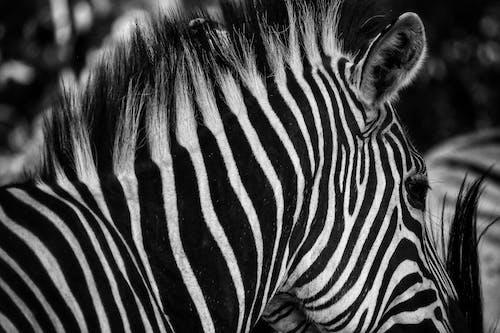 Photos gratuites de faune, gros plan, noir et blanc, photographie animalière
