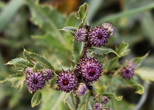 Бесплатное стоковое фото с пурпурный цветок, пчела на цветке, фиолетовый восторг