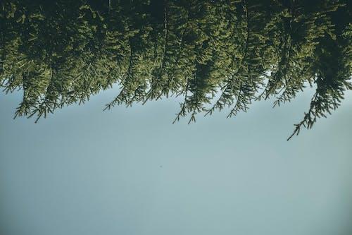 Darmowe zdjęcie z galerii z czyste niebo, drzewa, drzewo iglaste, krajobraz
