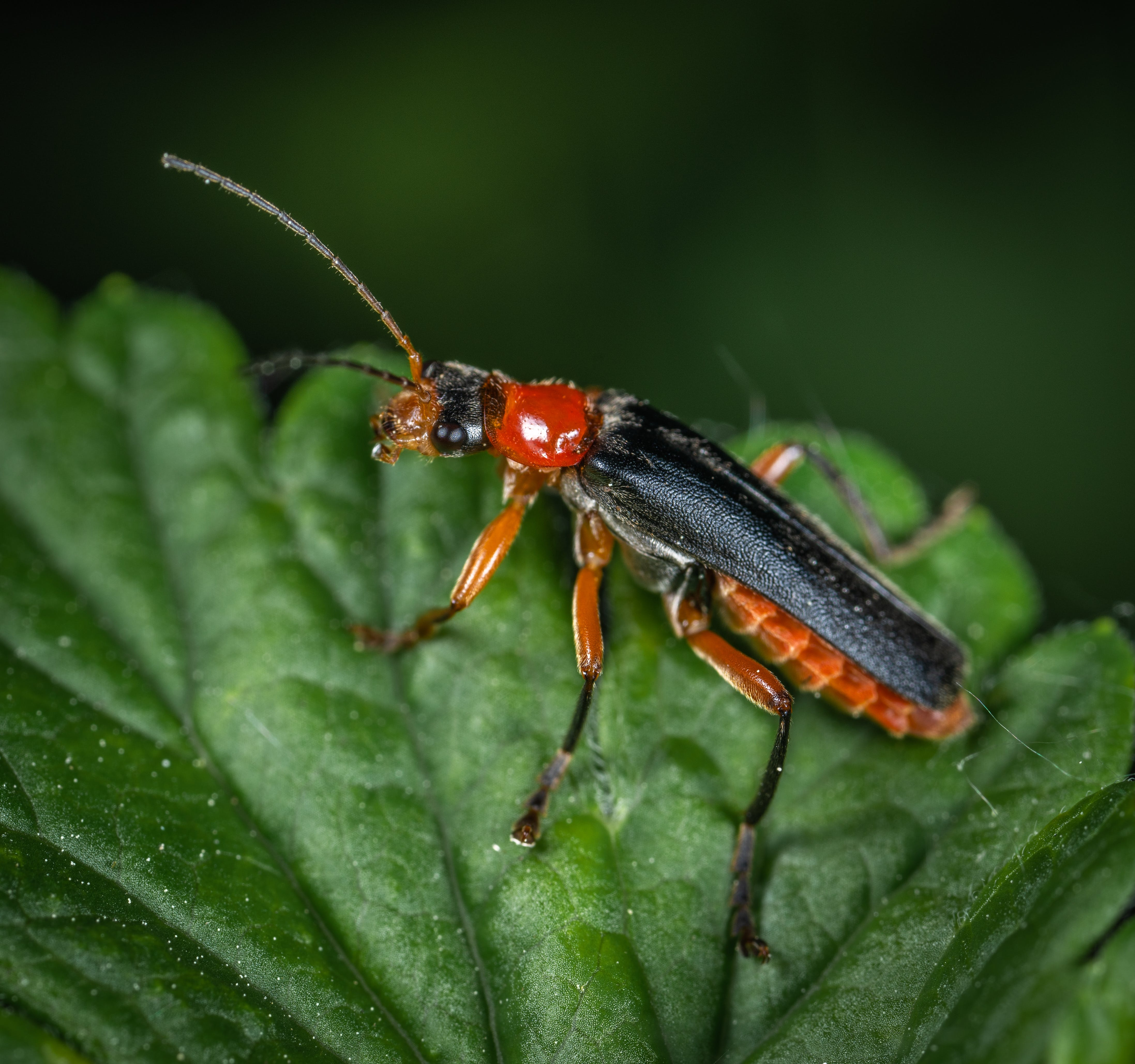 Black, Orange, and Red Cricket
