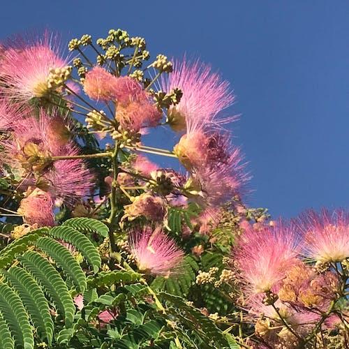 Kostenloses Stock Foto zu baum, blühenden baum, blume, mimose