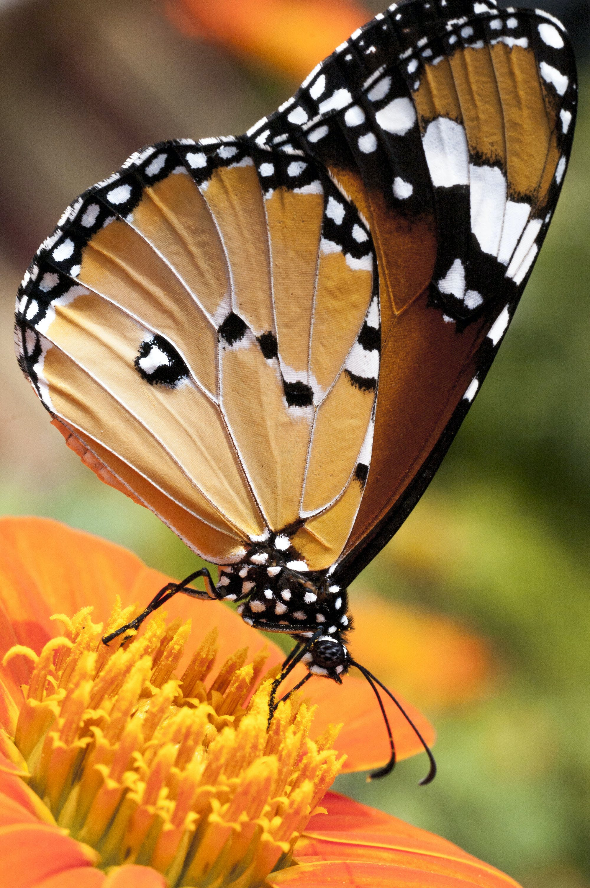 Free stock photo of arthropoda, butterfly, Butterfly on Tithonia flower, insecta