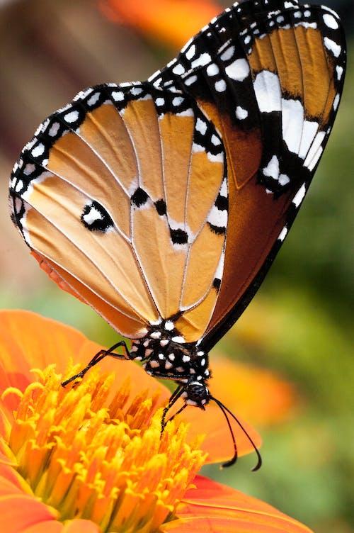 Ingyenes stockfotó insecta, ízeltlábúak, pillangó, pillangó a tithonia virág témában