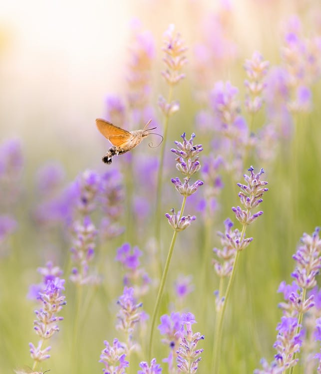 Brown Moth Hovering over Purple Flower